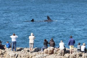 Southern-Right-Whales